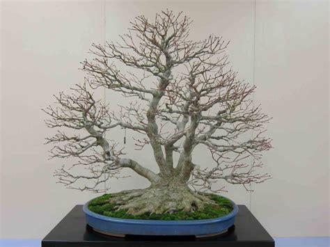 libro bonsai with japanese maples japanese maple bonsai google search my dream garden