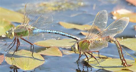 migratory dragonflies 187 welcome to mdp