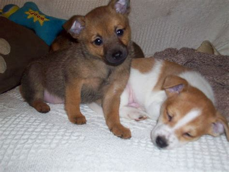 pictures of chihuahua pomeranian mix chihuahua pomeranian mix harrow middlesex pets4homes