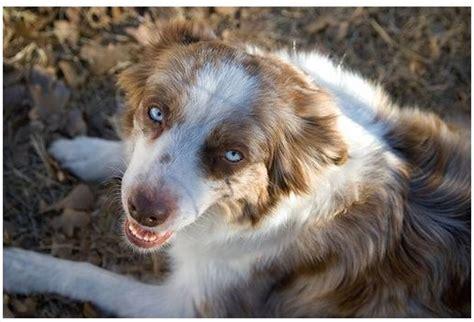 australian shepherd puppy cost australian shepherd puppy image jpg