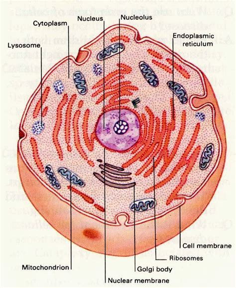 cell membrane function ency