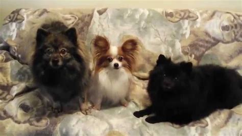 papillon vs pomeranian 018 german spitz klein papillon funnydog tv