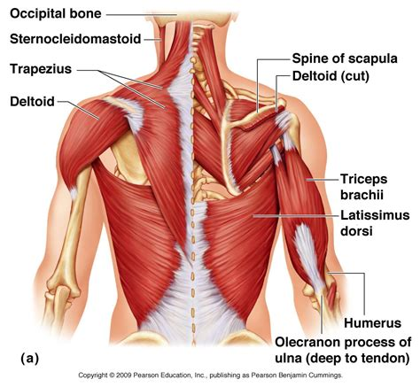 muscles of the diagram muscles of shoulder diagram shoulder diagram