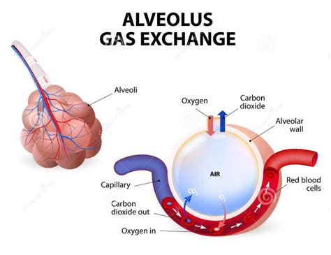 gas exchange bing images gas exchange in the body bing images