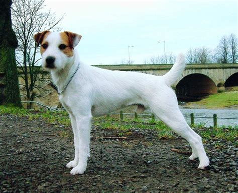 Parson Terrier Shedding by Parson Terrier Info Temperament Puppies Pictures