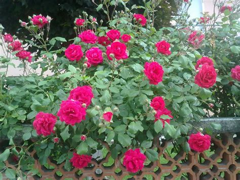 top 28 how plant roses flower picture rose flower