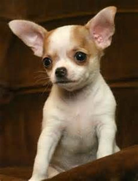 Do Hair Chihuahuas Shed by Graceful Alert And Moving With A Saucy Expression
