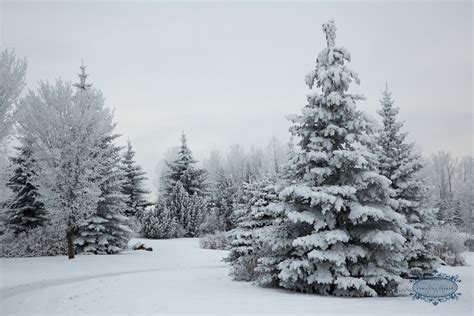 snowy trees images reverse search