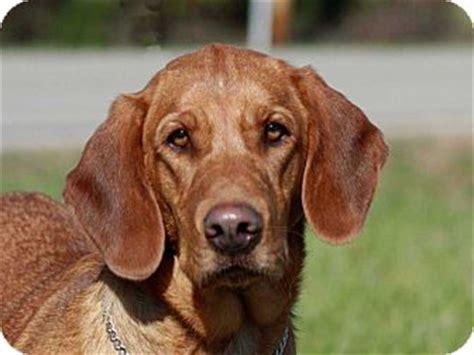 basset hound golden retriever pet not found