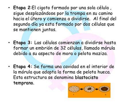 etapas del desarrollo etapas del cigoto hasta el embrion