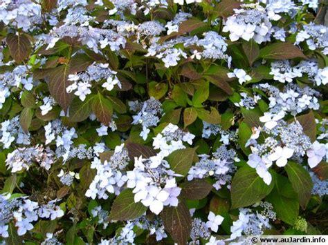 deckenle flur hortensia japonais hortensia 224 bonnets de dentelle