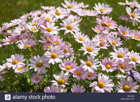 argyranthemum pink daisy like flowers stock photo royalty