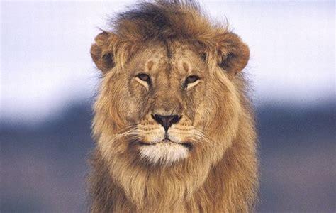 imagenes de leones feroces animales salvajes lista informaci 243 n im 225 genes y