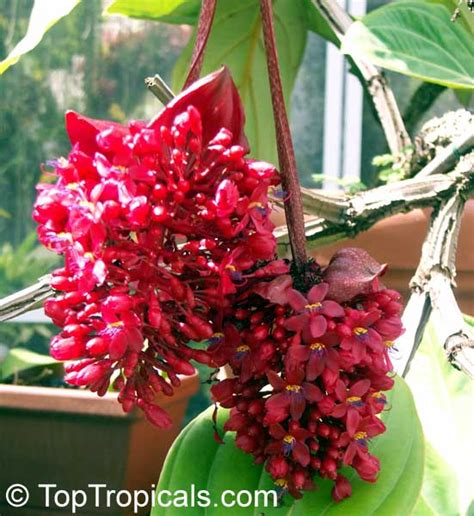 photos of colombia flowers medinilla magnifica image gallery miniata