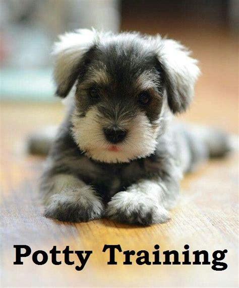 dog house training methods miniature schnauzer puppies how to potty train a miniature schnauzer puppy miniature schnauzer