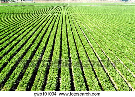 backyard cash crops stock photo of truck garden crops in southern california