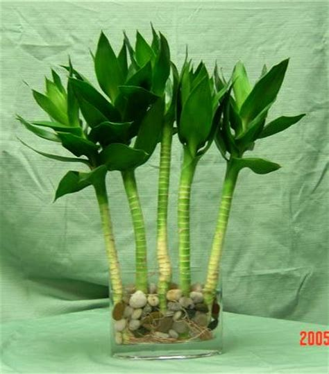 lotus bamboo care lucky bamboo gallery northwest orchids