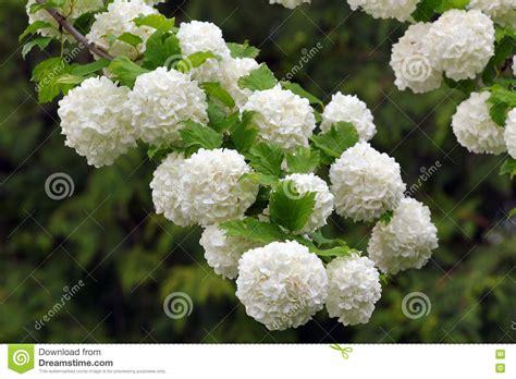 fiore a palla fiori a palla bianchi stratfordseattle