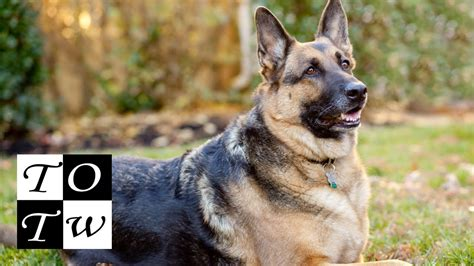 all famous dog names from tv movies politics books and top 10 german shepherd dog names funnydog tv