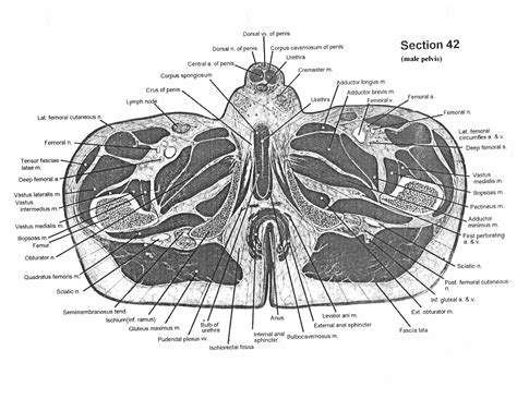 Cross Sectional Anatomy by Cross Sectional Human Anatomy