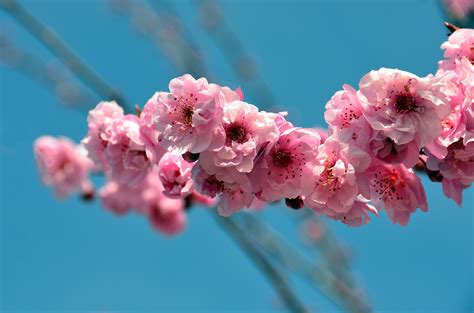 For You In Blossom 4 cherry blossom japan national flower desktop backgrounds