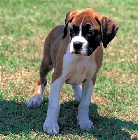 boxer dog house crate training for house breaking of a boxer dog training dog obedience training
