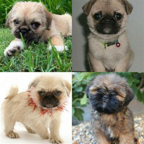pug x shih tzu temperament best 25 pug zu ideas on pug puppies pug mixed breeds and pug mix