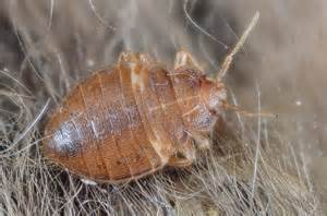 Where Do Carpet Beetles Live How To Identify Carpet Bugs And Maggots Ehow Uk