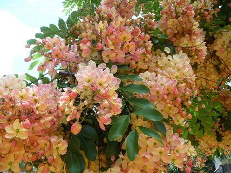 Shower Tree by Plantfiles Pictures Rainbow Shower Tree Cassia X Nealiae