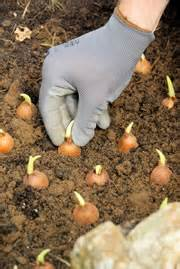 wann zwiebeln stecken steckzwiebeln stecken wann setzt stuttgarter riesen