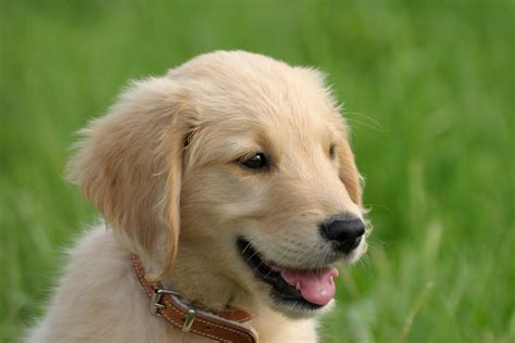 golden retriever puppy friendly puppy pictures