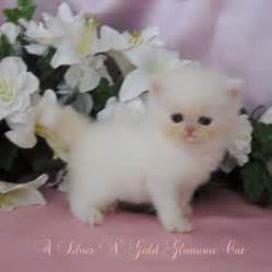 Rug Hugger Kittens Teacup Kittens On Pinterest Teacup Persian Kittens