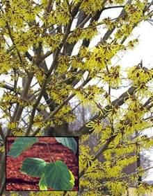 witch hazel hamamelis virginiana native to eastern n