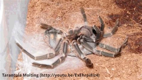 Why Do Tarantulas Shed Their Skin by 9 Creepy Gifs Of Animals Molting Relatively Interesting