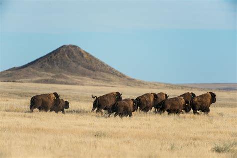 amerikanischer herd science and ceremony herald the return of bison to