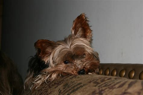 yorkie stomach problems terrier diarrhea causes symptoms and treatments