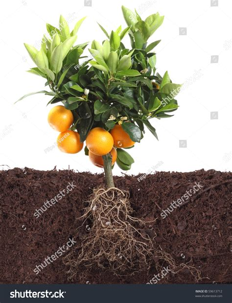 small orange tree small orange tree isolated on white with root in dirt