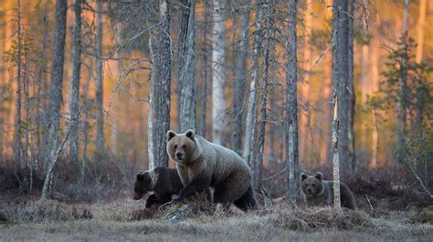 Walking In The the family of bears walking in the woods wallpapers and