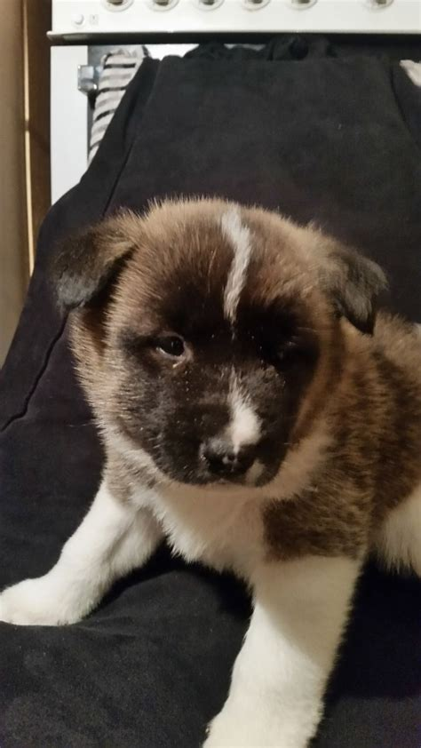 huskita puppies for sale gorgeous huskita puppies for sale grimsby lincolnshire pets4homes