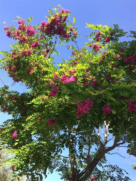 piante con fiori fucsia cespuglio con fiori fucsia con giardini e 183 pianta