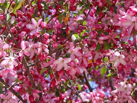 can the crabapple tree dethrone the cherry blossom