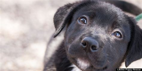 lifeline puppy adoptable puppies this week from lifeline puppy rescue photos huffpost