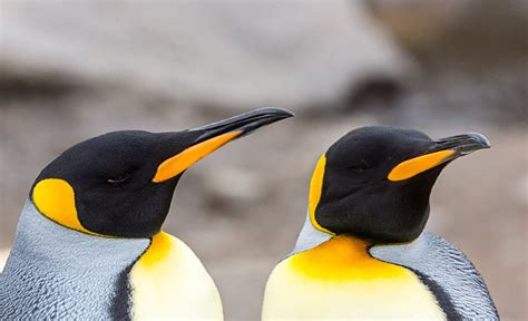 what color are penguins penguins find each other s beaks inkfish