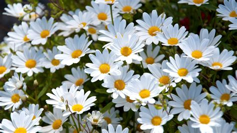 flower image white daisies full hd wallpaper and background 1920x1080