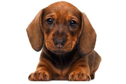 alimentazione cuccioli alimentazione cucciolo bassotto