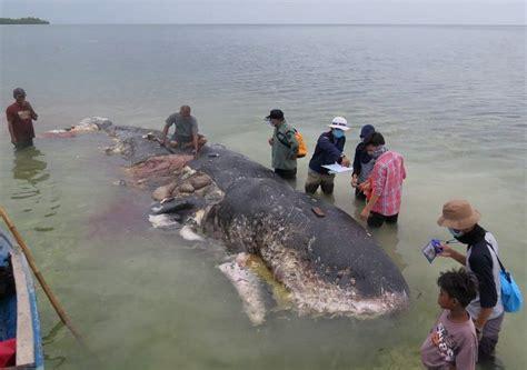botol beg plastik ditemui  perut bangkai paus