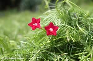 cypress vine flower picture 47
