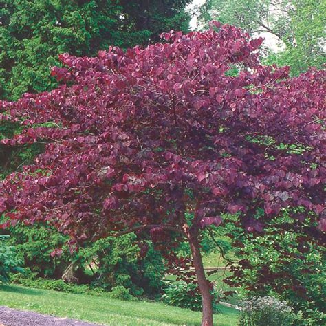 merlot redbud care related keywords merlot redbud care long tail keywords keywordsking