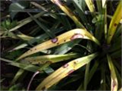 garten yucca braune flecken yuccas agaven co 187 hilfe was tun bei grossen braunen
