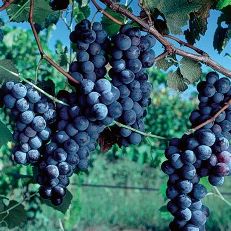 concord grape grape vines stark bro s